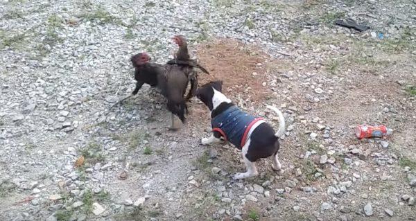 「ケンカは良くないよ!」ニワトリのケンカ止めようとする犬が優しい^ ^