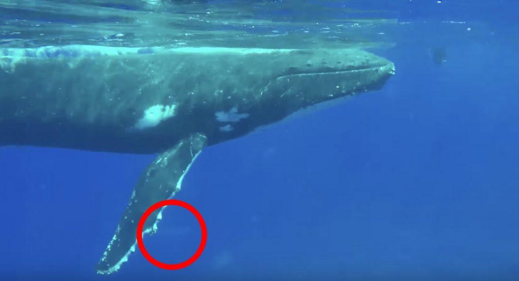 クジラがサメから人間を守ってくれた動画が話題に!生物学者「他の動物を助ける優しい動物」