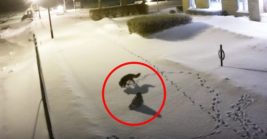 人のいない真夜中、フクロウとキツネが対話する様子が監視カメラに映り話題に!