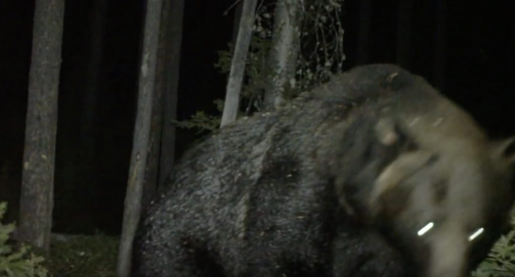 大きな熊が雄叫びをあげながら突然襲ってきた!こんなのに襲われたらひとたまりもない