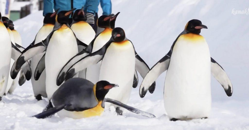 フカフカの雪に大興奮!散歩する旭山動物園のペンギンたち