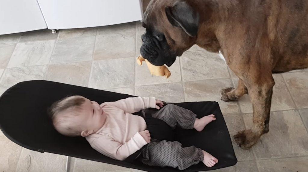 「ほ〜ら取ってみな」5ヶ月の赤ちゃんと遊んであげるボクサー犬。二人は最高の友達!
