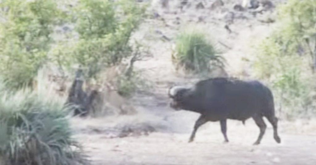 ライオンに襲われたゾウの赤ちゃん。すると一匹のバッファローが助けに現れた!