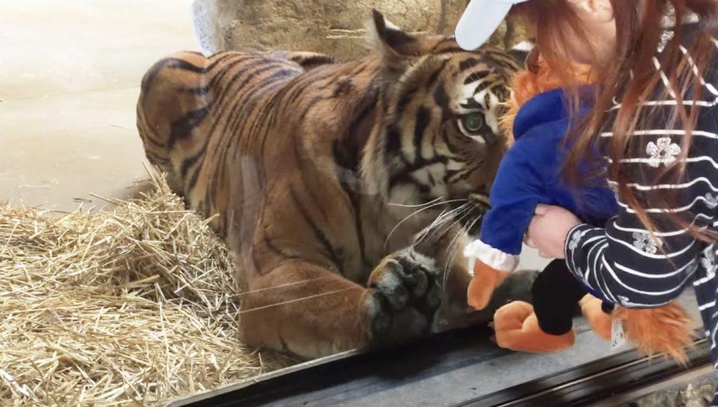 トラにぬいぐるみを見せたら、めちゃめちゃ興味を持って近づいてきた!