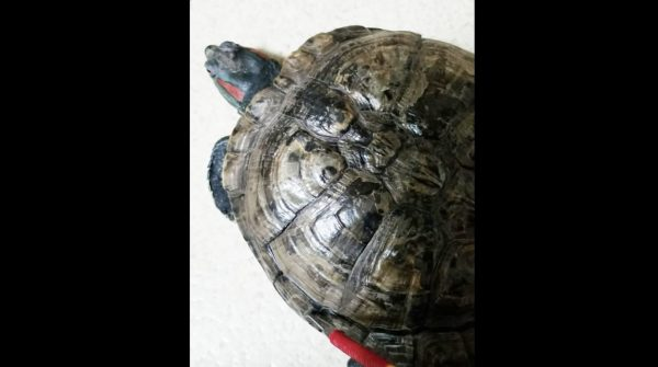 亀が脱皮する様子が思っていたのと違う!甲羅が丸ごとパカッと外れた!「14年間飼っていて初めて見た」