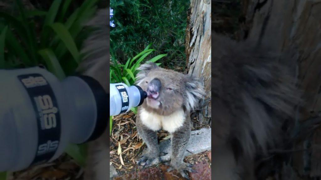 猛暑のオーストラリア、木陰でうなだれていたコアラに水をあげたらゴクゴク飲んで元気に!