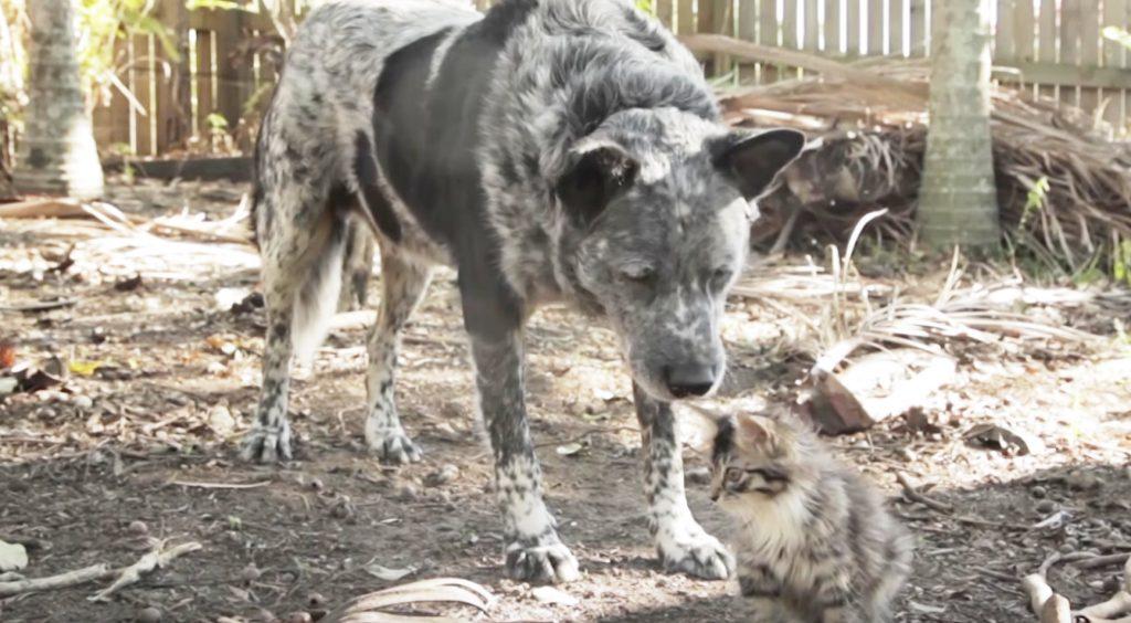 【感動】生まれつき障害で上手く歩けない子猫を引き取ると、飼い犬は常に子猫を見守るようになった