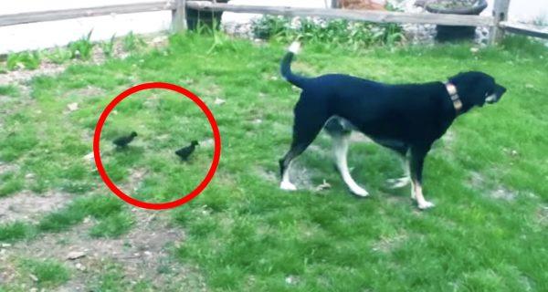 カモの赤ちゃんに母親と思われてしまった犬。どこまでも付いてくる彼らに戸惑う^^;