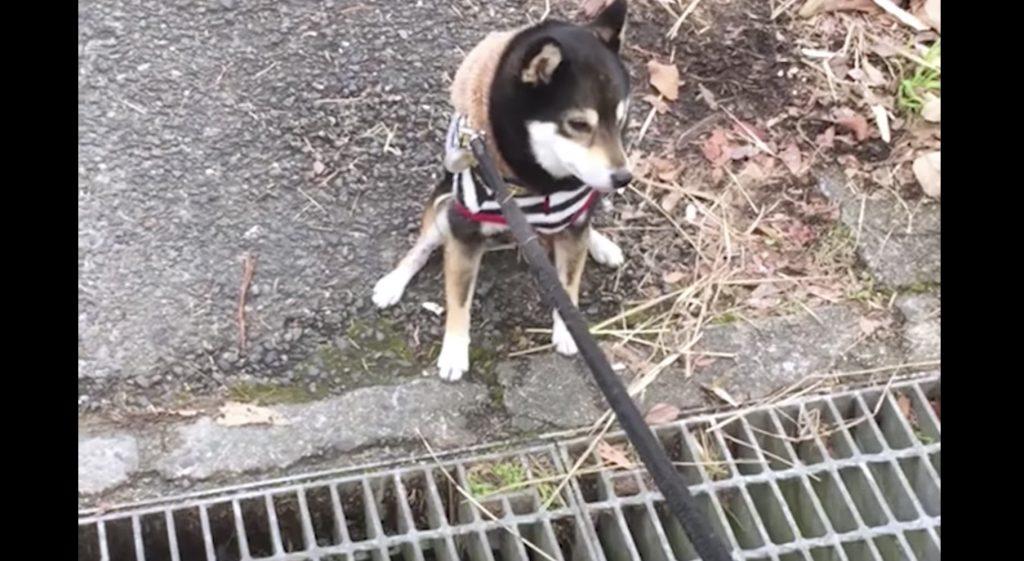 金網の上を怖くて渡れない犬。すると、お散歩中の犬が渡り方を教えてくれた!