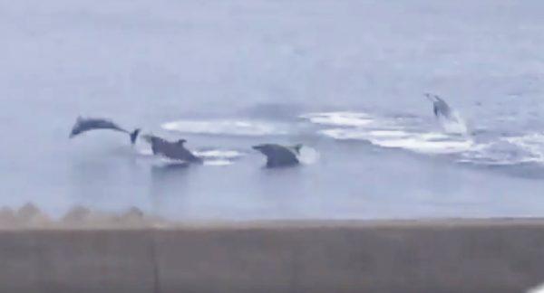 【鹿児島】堤防近くを一斉にジャンプするイルカの大群が話題に!専門家も「初めて見た」とコメント