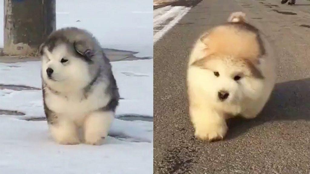 モフモフの「アラスカンマラミュート」の子犬たちの走り方が可愛すぎ^^「コットンボールが走っているみたい」