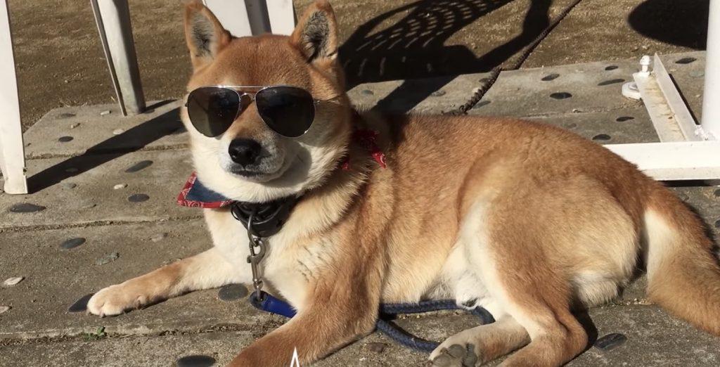 「これええわ」眩しそうにする柴犬にサングラスをあげたら気に入ってしまった^^