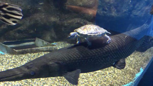 【仙台】アリゲーターガーに乗る亀が「日本昔話」をみたいで面白い笑