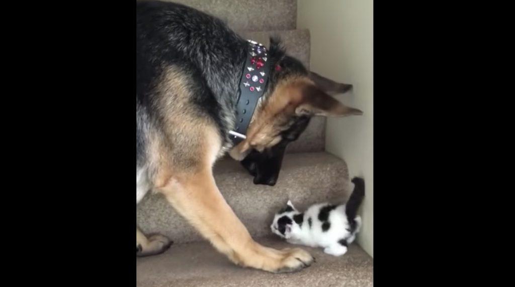 子猫に階段の上り方を教える犬が優しすぎて惚れそう^^