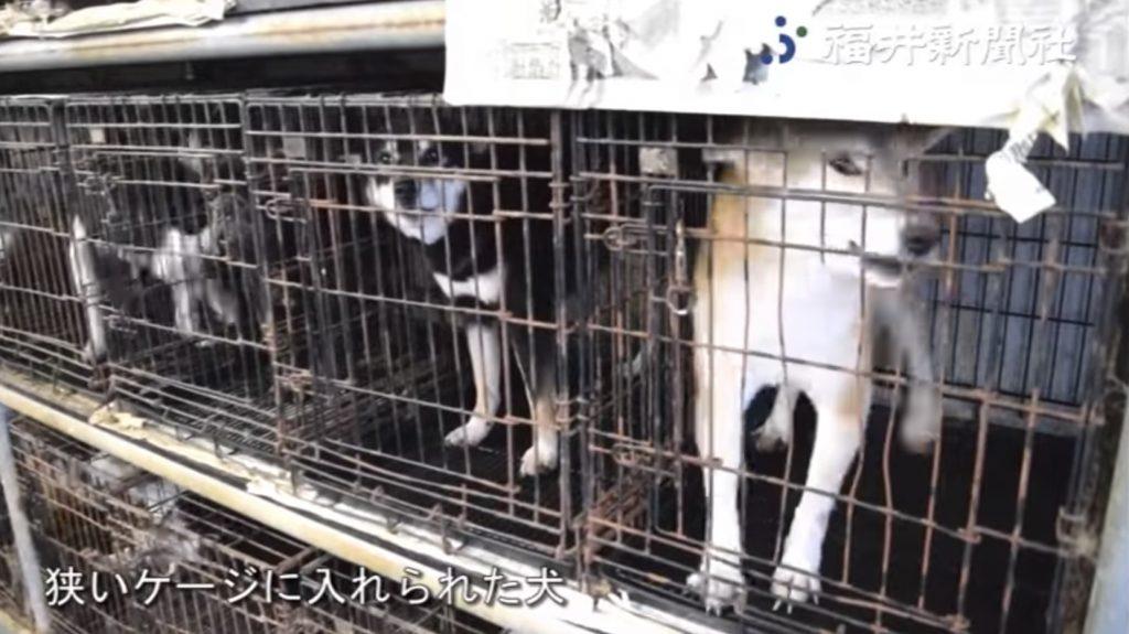 【福井】「子犬工場」で400匹の母犬の過密飼育が発覚!「まるで地獄」のような光景に目を覆いたくなる