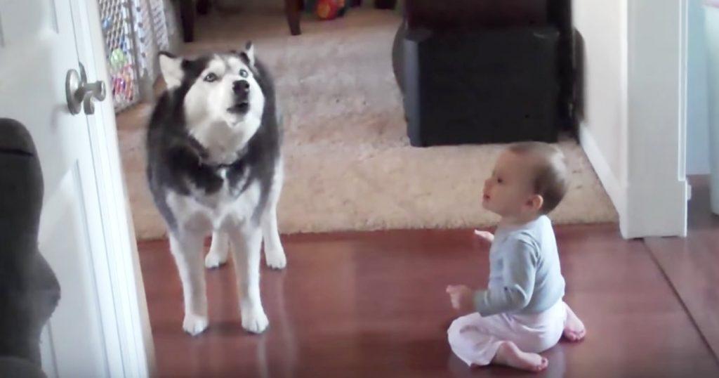 兄弟みたい!赤ちゃんのモノマネをするハスキー犬に、赤ちゃんも大喜び^^