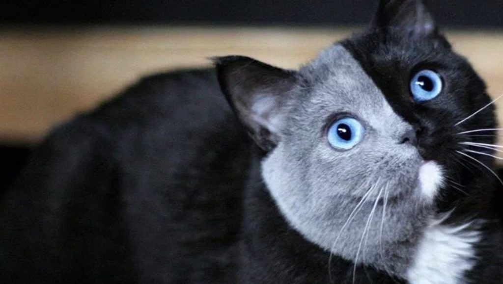 「奇跡だ」2つの遺伝情報を持つ「キメラ猫」の美しい姿に目を奪われる!