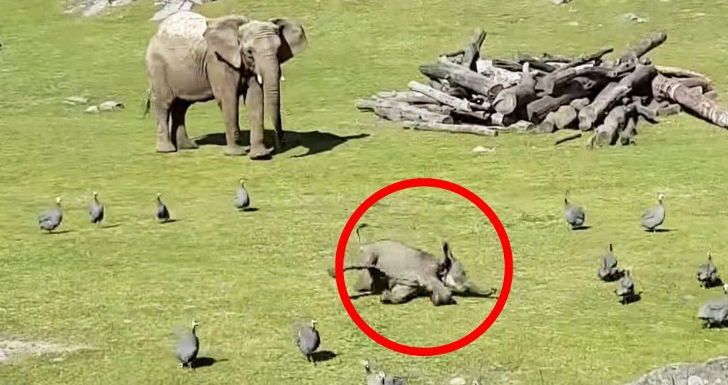 鳥を追いかけていた子ゾウが転んで「ママー!」と泣きつく様子が、人間の子供と同じだと話題に^^