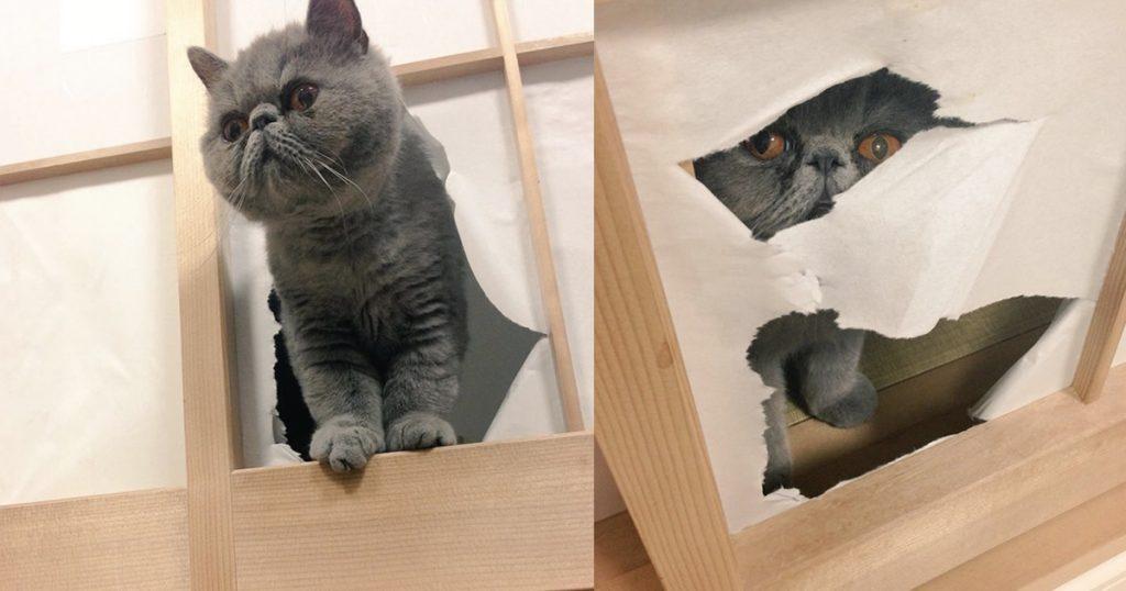 飼い猫が障子を破るので困っていた飼い主さん。丈夫なプラスチック障子したら面白いことに笑