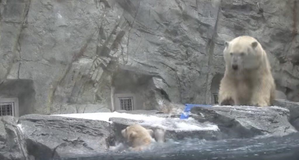 プールに落ちてしまった泳げない子熊。母がダッシュで飛び込むも、助けない姿に愛を感じる!