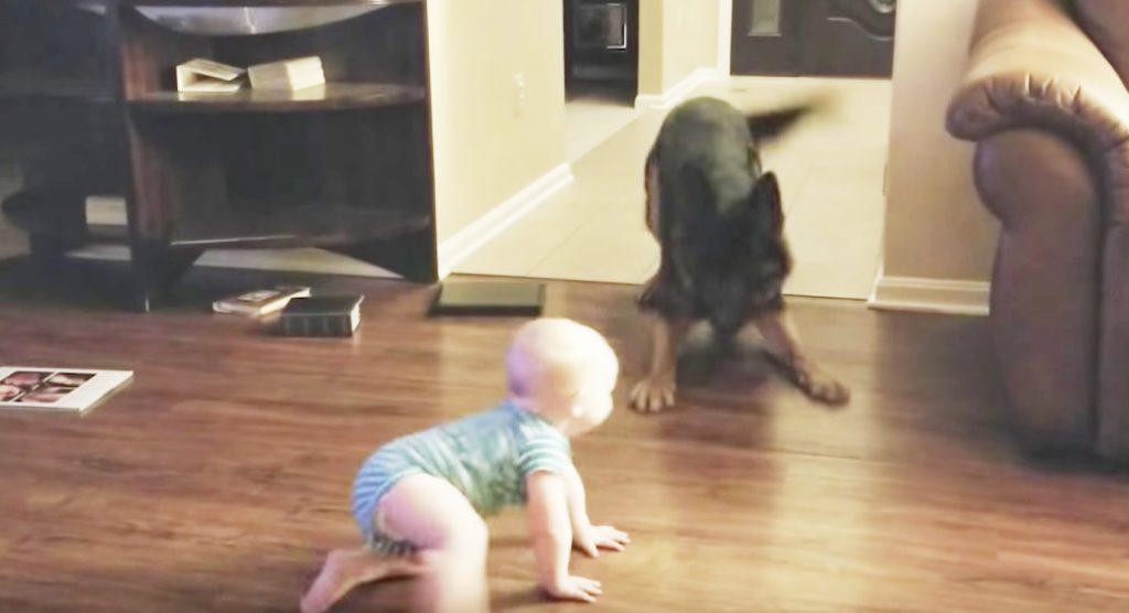 鬼ごっこをする赤ちゃんとジャーマンシェパードが可愛すぎる^^「2人はお互いに成長し、最高の友達になるんだろうね!」
