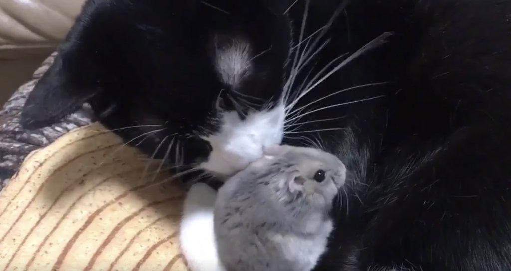 【日本】とても仲良しな猫とハムスターがリアル「トム&ジェリー」だと話題に!