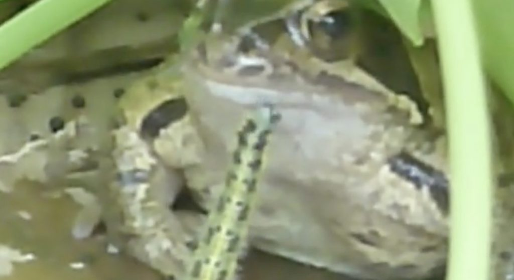 カエルに喧嘩を売りまくった毛虫がパクッ!毛虫が自暴自棄になった理由に背筋が凍る