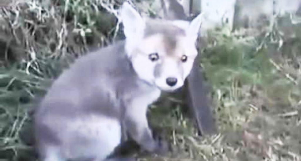 「ありがとう」空き缶が頭にハマった赤ちゃん狐を助けたら、めちゃめちゃ懐いてきた!
