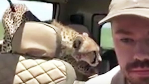 野生のチーターが車内に乱入!目を合わせると襲われる。帰るまでひたすら待つ。人生で一番怖かった瞬間