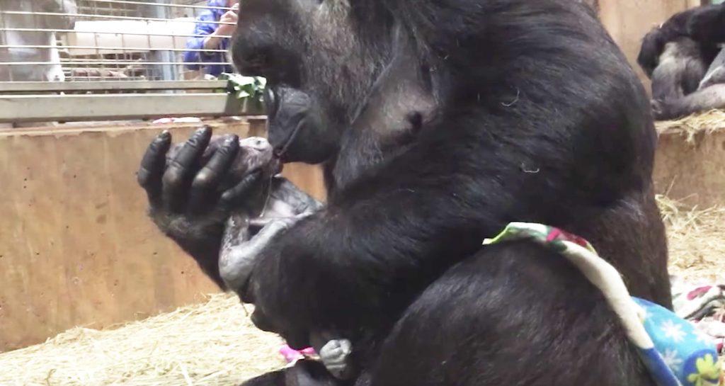 【感動】ゴリラの出産映像が話題に!自分で赤ちゃんを取り上げ、まるで人間のような行動に出る!