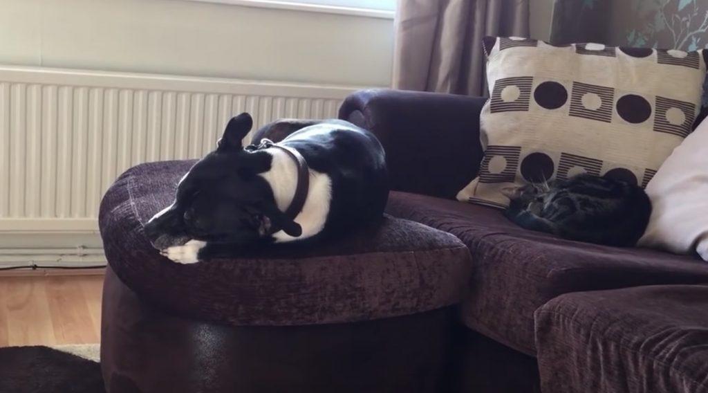 ソファーで寝ていた犬がありえない落ち方をする!見ていた猫も困惑笑