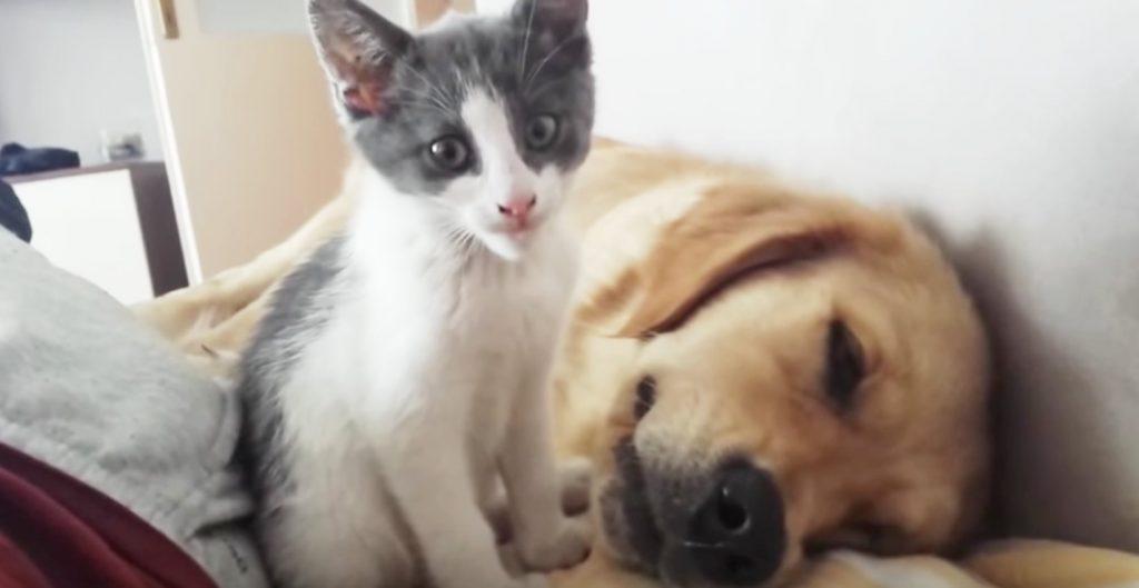 「寝ていたら食べちゃうよ!」眠っているゴールデンレトリバーを食べようとする子猫^^;