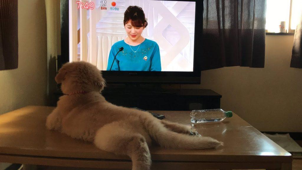 大好きなアナウンサーが出てくると、テレビに釘付けになるゴールデンレトリバーの子犬が可愛い!