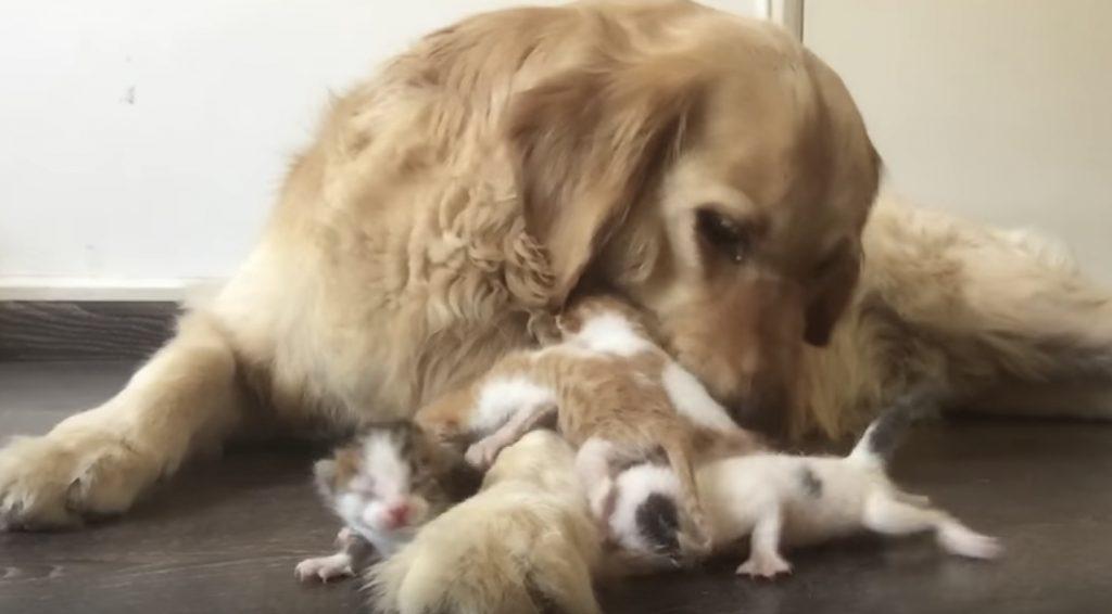 道に捨てられていた所を拾われた4匹の子猫。お母さんのように甘える子猫に温もりを与える犬