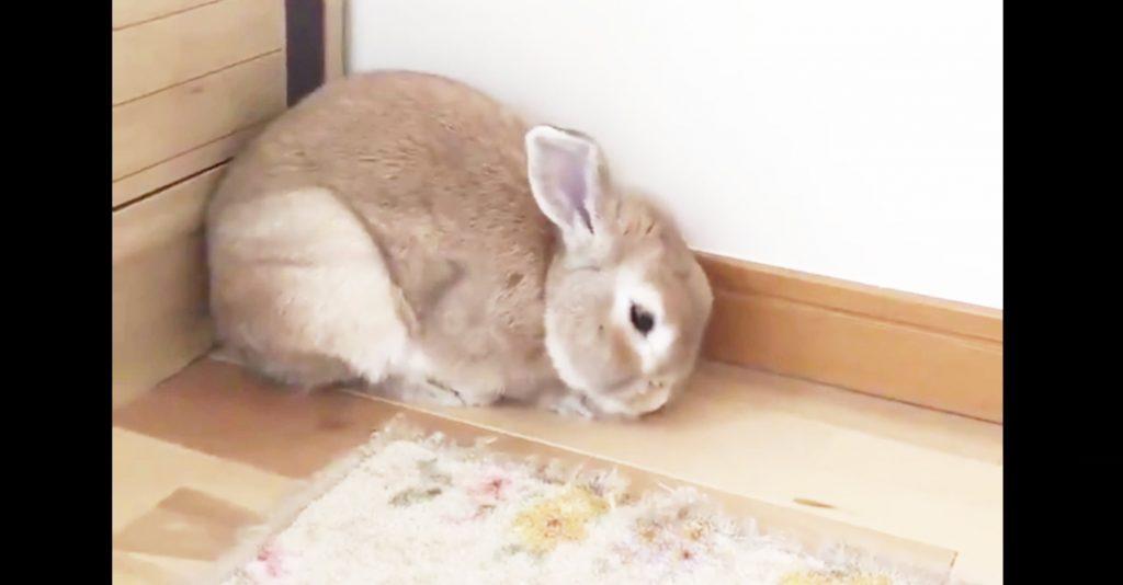 撃たれたの如く、いきなり眠りに落ちるウサギが可愛すぎると話題に^^