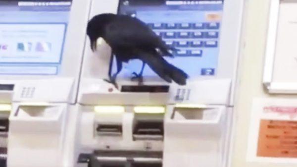 東京のカラスが進化しすぎて鳥肌!人間からカードを借りて、切符を買って電車に乗ろうとするカラス