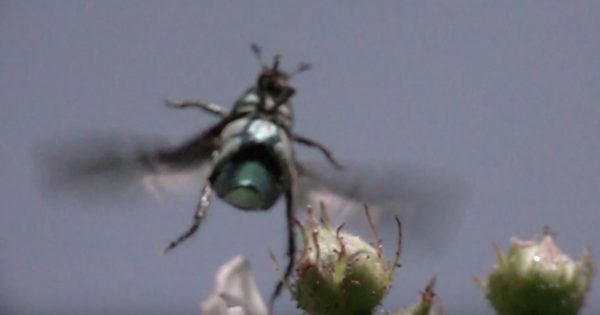 飛ぶのが下手すぎる「アシナガコガネ」たちが可愛いと話題に!離陸成功は20回に1回^^;