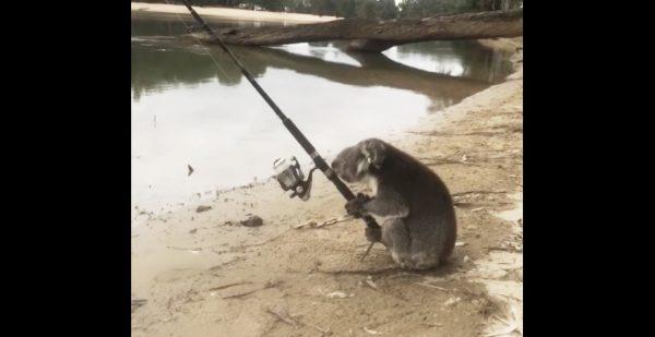 オーストラリアで「コアラが釣りをしていた」と話題に!