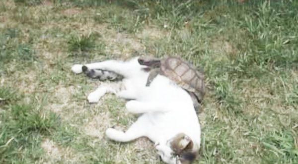 20歳の大先輩の亀マッサージにトロトロになってしまう2歳の猫^^
