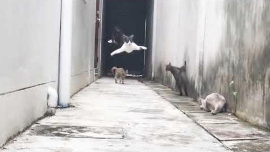 敵地にやってきてしまった猫。3匹の猫の攻撃を忍者並みの身体能力でかわす動画が話題に!