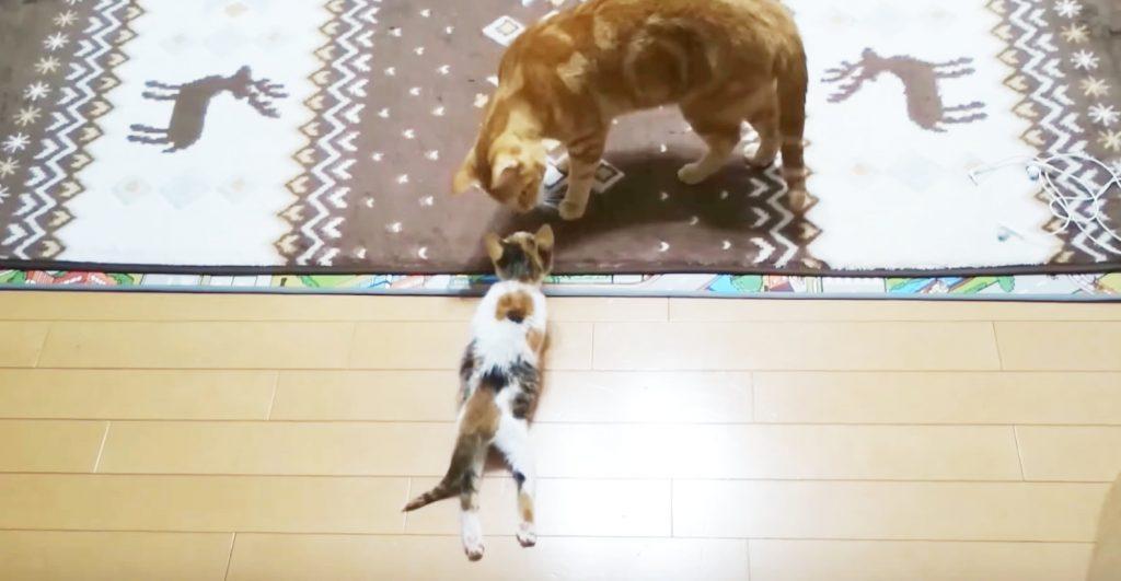 橋から落下し、下半身が動かなくなった子猫を保護。 10日後、先住猫の身体に起った奇跡的な変化