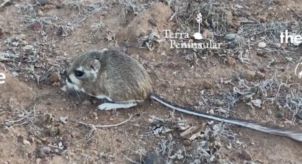 絶滅したとされていた「カンガルーネズミ」が32年ぶりに偶然発見される!小さくて超可愛い!