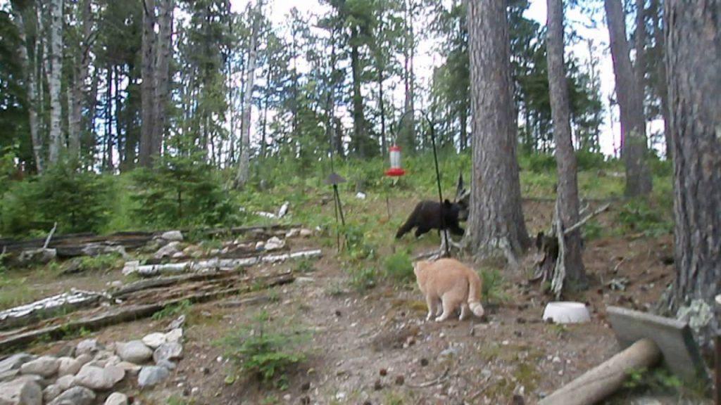 熊に縄張りを荒らされた猫が、ブチギレて追いかけ回す!猫の圧倒的覇気に驚き!