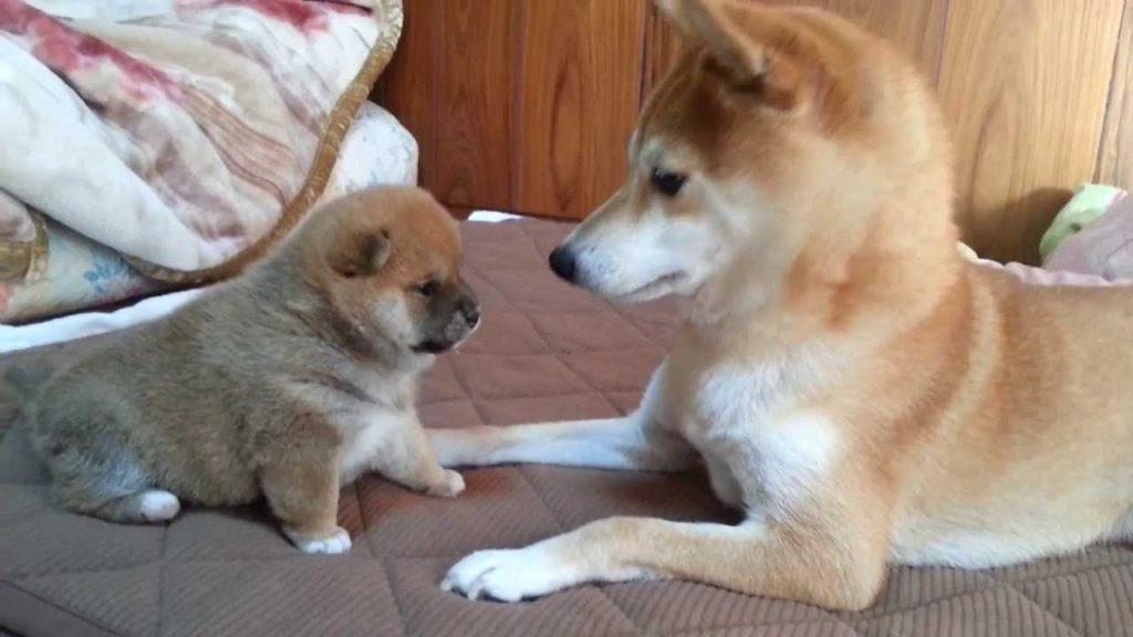 柴犬の赤ちゃんの届かないパンチが可愛すぎ!短い前足で頑張る姿に悶絶^^