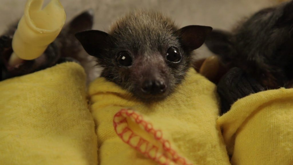 母親が亡くなってしまい保護された赤ちゃんコウモリたちが可愛いすぎる!