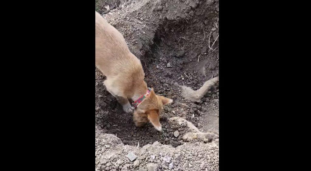 亡くなった兄弟犬を丁寧に埋葬する犬。「足ではなく鼻を使っている。それは彼の敬意なのかも」「本当に良い兄弟だったに違いない」