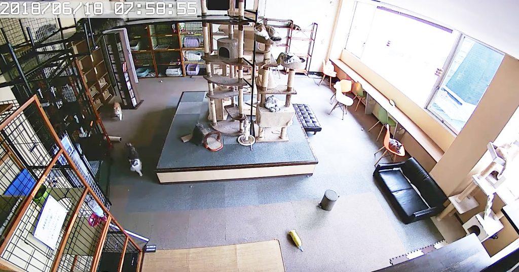 大阪北部地震で撮影された猫カフェの映像がスゴい!揺れが来る10秒前から騒つく猫たちの勘が鋭い!