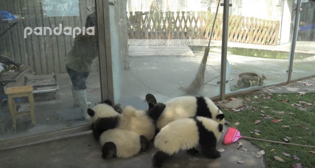 子パンダのケージの掃除は超大変!ケージに入った瞬間邪魔してくるモフモフの子パンダが可愛すぎ笑