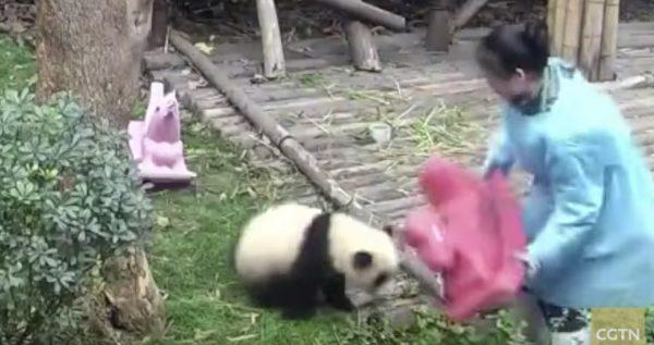 大好きなおもちゃを回収された子パンダが激怒!その後の行動が可愛すぎる笑