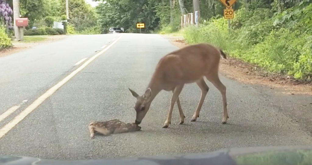 道路を渡るのが怖くて座り込んでしまった子鹿。ママに勇気づけられる姿が話題に!